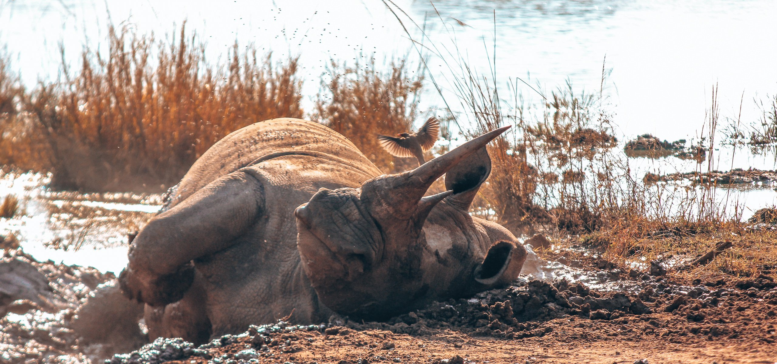 An adult rhino enjoys rolling in the mud at Hlane Royal National Park, Swaziland