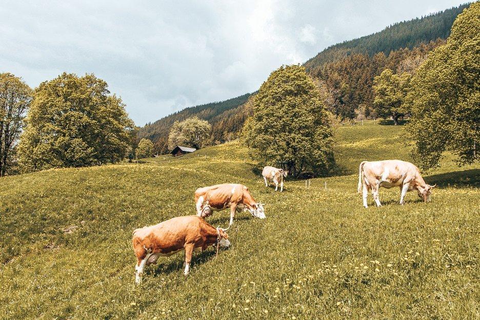 Cows grazing in Grindelwald, Switzerland