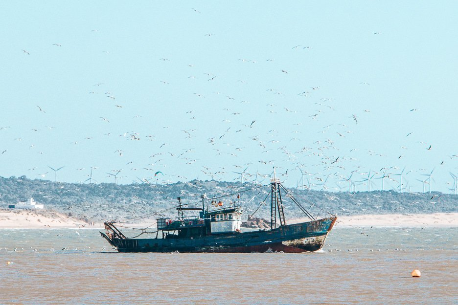 Fishing boat returning to the harbour surrounded by hundreds of seagulls, Essaouira Morocco