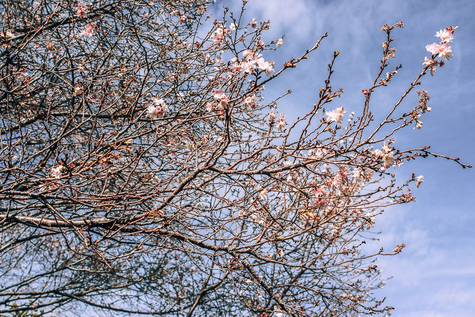 Cherry blossoms coming into bloom | what to see in Meguro Tokyo